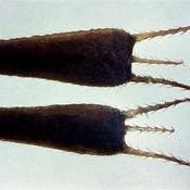 Diseminación pasiva por los animales (bardana, moto o lapa)