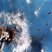 Diseminación pasiva por el viento (diente de león)