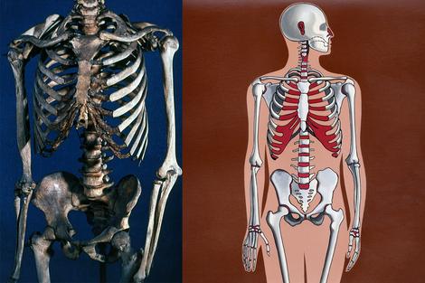 Screenshot 2 de Galería #86999 - Huesos del tronco y las extremidades