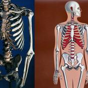 Esqueleto del tronco