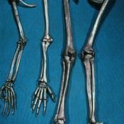 Esqueleto de las extremidades