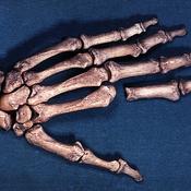 Parte de la mano izquierda