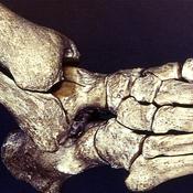 Detalle de la articulación del empeine