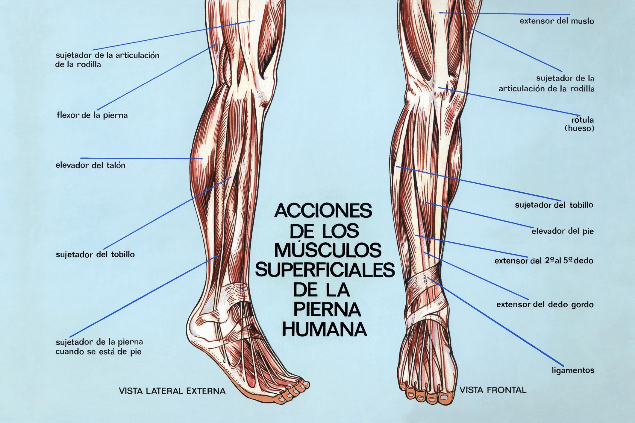 Msculos de las piernas plano profundo ANATOMIA t