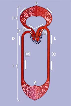Screenshot 2 de Galería #87250 - Aparato circulatorio y la sangre