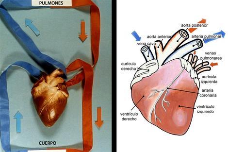 Screenshot 3 de Galería #87250 - Aparato circulatorio y la sangre