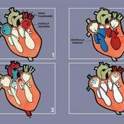 Esquemas de los movimientos del corazón