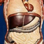 Situación del aparato digestivo