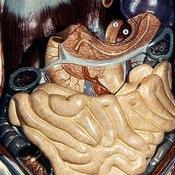 Partes del aparato digestivo